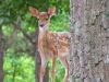 august-fawn