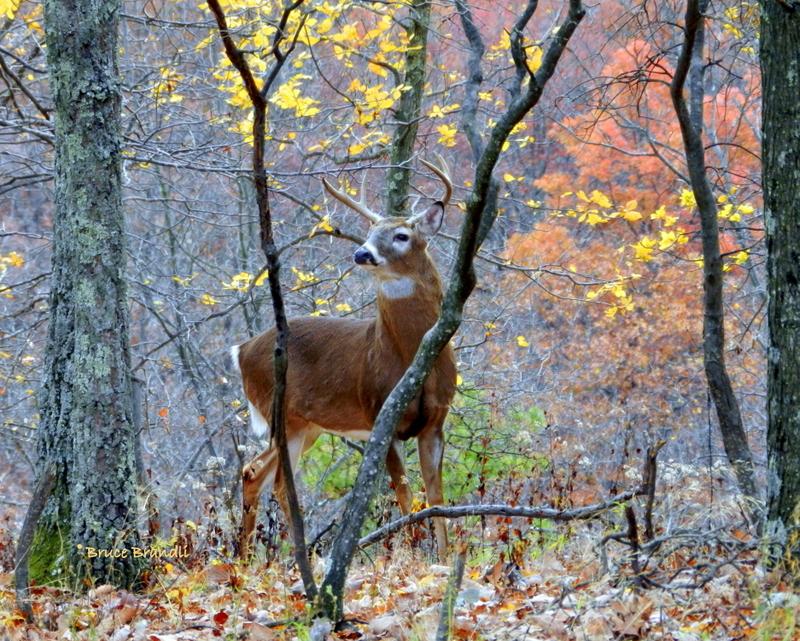 Autumn White-Tailed Buck